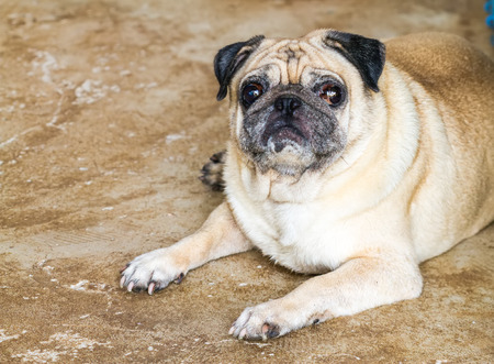 implore: lovely lonely brown pug dog  be sitting on floor