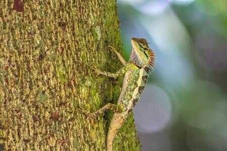 lagartija: Colorido de Oriental Garden Lagarto en rama Foto de archivo