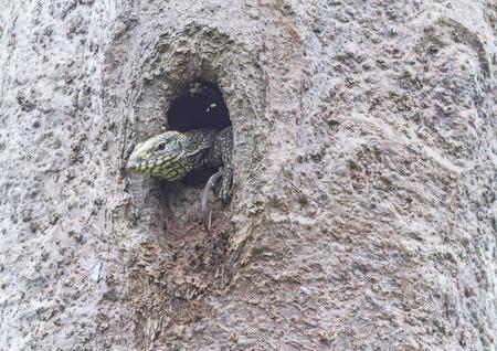 salvator: Close up of the head of a young water monitor(Varanus salvator) lizard inside a tree hollow nest of bird