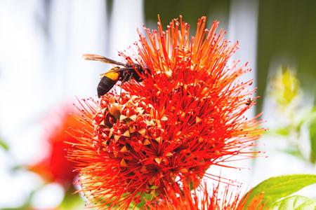 powder puff: Beautiful of Red bush willow or Thai powder puff flower