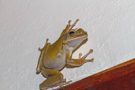 common hop: Close up golden tree frog on white wall Stock Photo