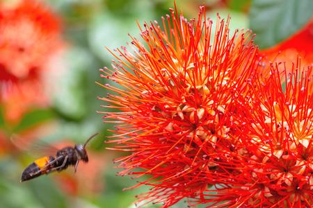 red bush: Beautiful of Red bush willow or Thai powder puff flower