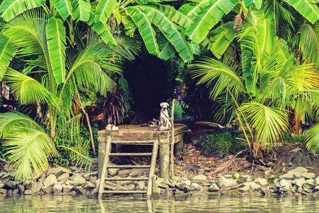amphawa: The dog sitting at waterfront pavilion  and green babana tree at small  lake side in Amphawa, Samut songkharm, Thailand