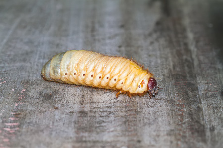larva: Rhinoceros beetle Xylotrupes gideon , Xylotrupes gideon , larva on wooden