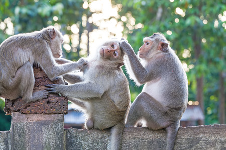 heed: Monkeys checking for fleas and ticks on concrete fence in the park