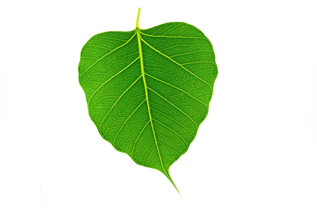 pipal: Sacred fig leaf Ficus religiosa L. , Pipal Tree, Bohhi Tree, Bo on white background