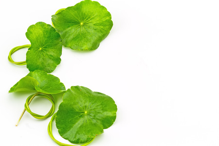 asiatic: Green Asiatic Pennywort Centella asiatica  on white background Stock Photo