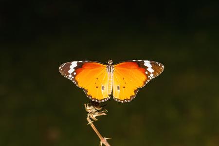 danaus: Close up Common Tiger butterfly Danaus genutia on branch