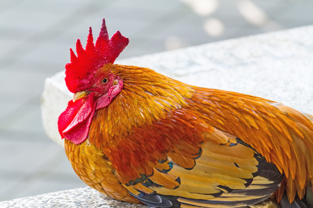 gallus: Close up face of  Rooster ,Red junglefowl Gallus gallus,Bantam sleeping on white marble Stock Photo