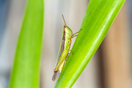 chorthippus: Meadow Grasshopper Chorthippus parallelus on green leaf
