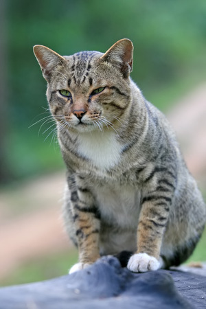 temper: Portrait cute young gray cat with beautiful striped color be in a good temper on black timber