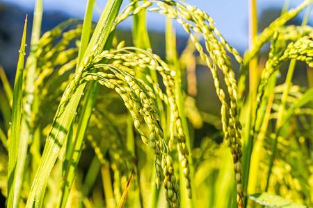arroz: Cierre plano de arroz en el campo de luz de la ma�ana Foto de archivo