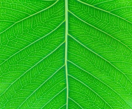 pipal: Sacred fig leaf Ficus religiosa L. , Pipal Tree, Bohhi Tree, Bo Tree, Peepul   on white background Stock Photo