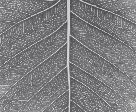 pipal: Sacred fig leaf Ficus religiosa L. , Pipal Tree, Bohhi Tree, Bo Tree, Peepul   on white background in black tone Stock Photo