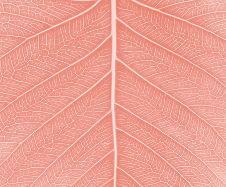 pipal: Sacred fig leaf Ficus religiosa L. , Pipal Tree, Bohhi Tree, Bo Tree, Peepul   on white background  in red tone Stock Photo