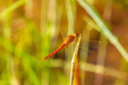 crocothemis: Macro of dragonflyCrocothemis servilia, Eastern Scarlet Darter, Greater Red Skimmer  on green rice field
