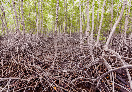 beautify: The forest mangrove at Petchaburi, Thailand Stock Photo