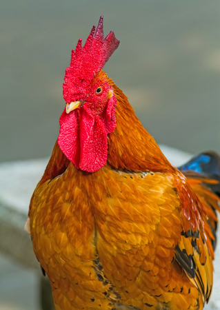 gallus: Close up face of  Rooster ,Red junglefowl Gallus gallus,Bantam on natural light Stock Photo