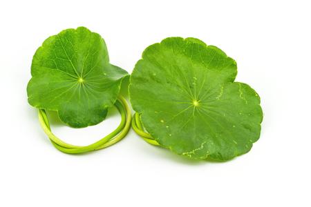 longevity medicine: Green Asiatic Pennywort Centella asiatica  on white background Stock Photo