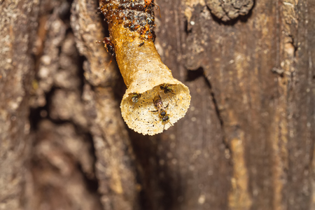 hoard: Close up black Stingless bee on nest