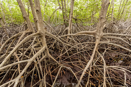 unwanted flora: The forest mangrove at Petchaburi, Thailand Stock Photo
