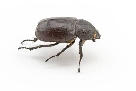 horn beetle: Black beetle,Rhinoceros beetle, Rhino beetle, Hercules beetle, Unicorn beetle, Horn beetle Dynastinae on white background Stock Photo