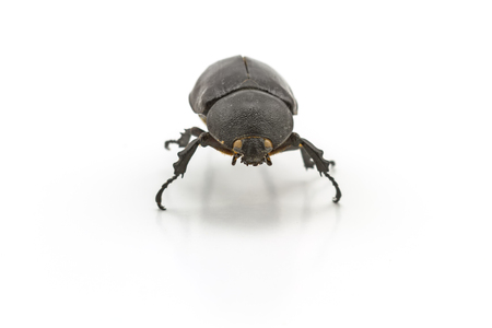 long horn beetle: Black beetle,Rhinoceros beetle, Rhino beetle, Hercules beetle, Unicorn beetle, Horn beetle Dynastinae on white background Stock Photo