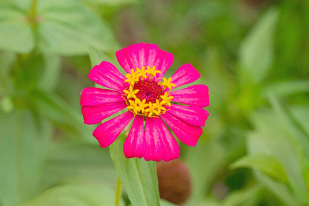 cav: Zinnia flower Zinnia violacea Cav. closeup of red Zinnia flower in full bloom,Youth-and-old-age flower