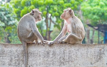 face to face: Two monkeys sitting on the wall while catch their eye Stock Photo