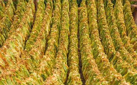 sere: Classical way of drying tobacco in barn