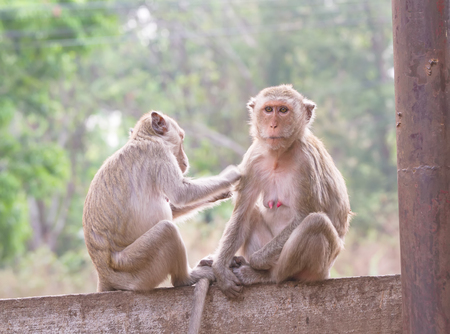 fleas: Monkeys checking for fleas and ticks in the park