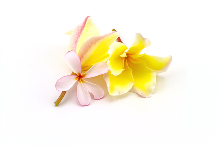 spp: frangipani flowers Plumeria spp , Apocynaceae, Pagoda tree, Temple tree on white background
