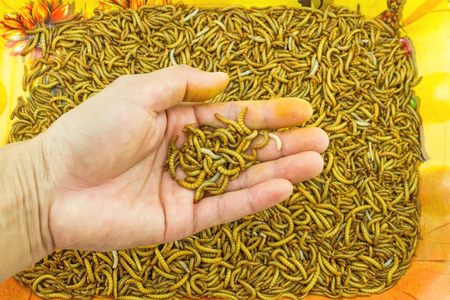 mealworm: Hand of man show mealworm feed for animals on orange tray in the  market Stock Photo