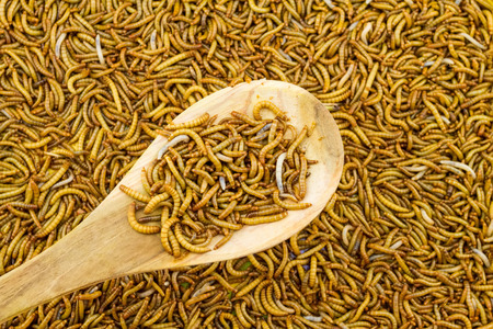 mealworm: Close up mealworm feed for animals in wooden spoon  in the  market Stock Photo