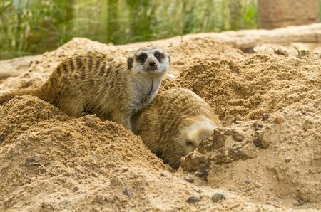 quadruple: Lovely meerkat playing on sand