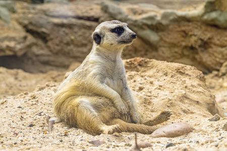 quadruple: Lovely meerkat playing on sand