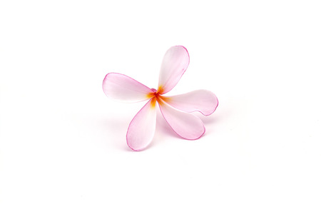 spp: Pink frangipani flowers Plumeria spp , Apocynaceae, Pagoda tree, Temple tree on white background Stock Photo