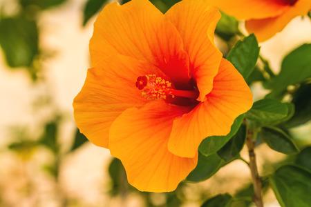 Macro van oranje China Rose bloem Chinese hibiscus, Hibiscus rosa-sinensis, Hawaiian hibiscus, schoenbloem