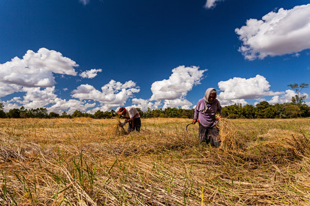 participatory: CHIANG MAI.THAILAND - OCT 20 : The old man and women Thai farmer collaborating at the harvest, October 20 , 2015 in Chiang Mai .Thailand
