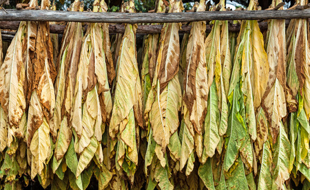 tobacco plants: Classical way of drying tobacco in barn