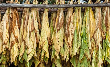 Forma clásica de secar el tabaco en el granero