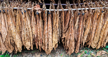 sear and yellow leaf: Classical way of drying tobacco in barn