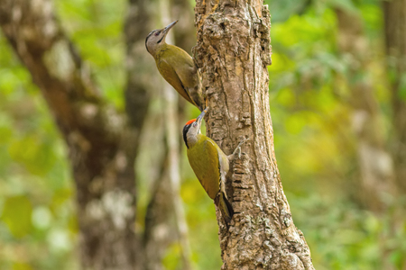 vittatus: Beautiful male and female Laced WoodpeckerPicus vittatus drilling pines for food at Nam Nao national park ,Thailand