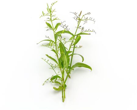Fresh of Andrographis paniculata plant on white background use for herbal product