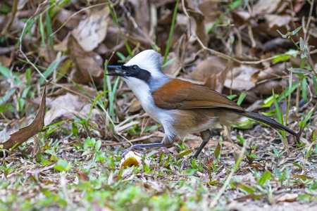 white crested laughingthrush: beautiful white-crested laughingthrush (Garrulax leucolophus) possing on eating banana  on grass at  Nam Nao national park , Thailand