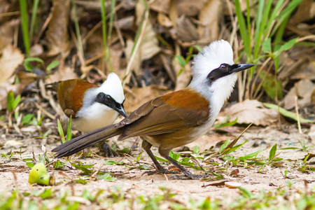 laughingthrush: beautiful white-crested laughingthrush (Garrulax leucolophus) possing on eating rice  on grass at  Nam Nao national park , Thailand