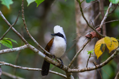 white crested laughingthrush: beautiful white-crested laughingthrush (Garrulax leucolophus) possing on branch in Nam Nao national park , Thailand