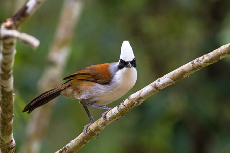 laughingthrush: beautiful white-crested laughingthrush (Garrulax leucolophus) possing on branch in Nam Nao national park , Thailand
