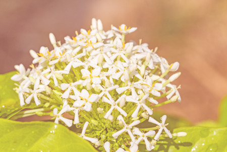 ixora: Siamese White ixora background Stock Photo