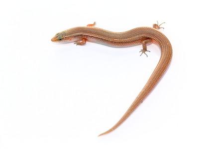 inhabits: Many-lined Sun Skink (Common Slender Skink , Common Slender Skink, Green Crested Lizard Isolated on white background Stock Photo